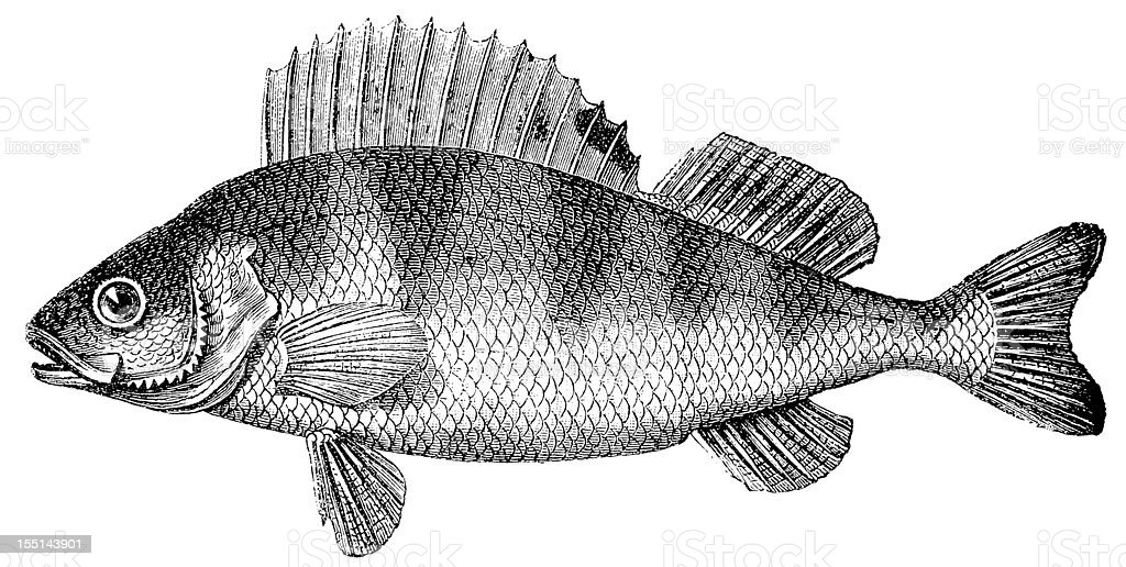 European Perch (Perca Fluviatilis) vector art illustration