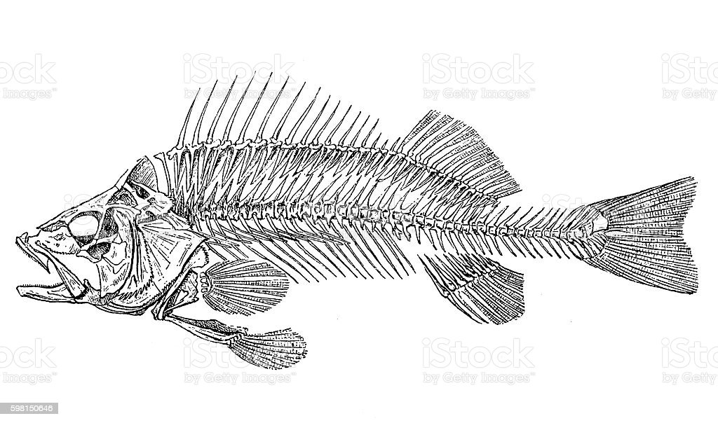European perch skeleton (Perca fluviatilis) vector art illustration