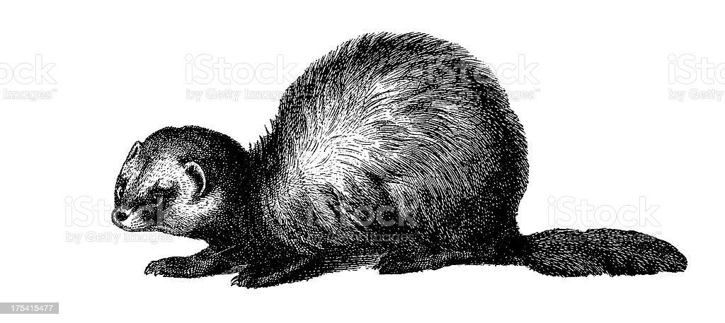 ヨーロッパケナガイタチアンティーク動物イラスト 19世紀のベクター
