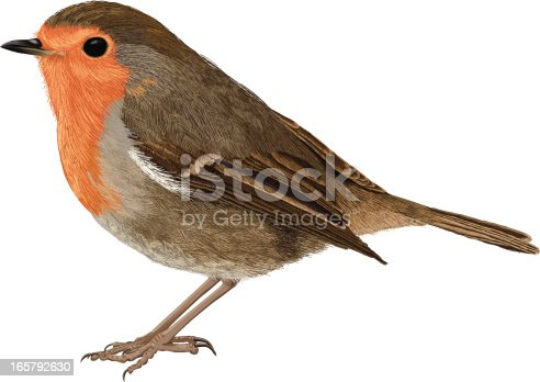 An illustration of a European Robin. This illustration was created by painting the feathers using the brush tool in Illustrator.