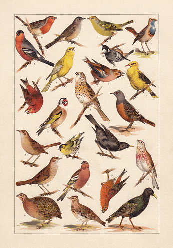 European songbirds, chromolithograph, published in 1896