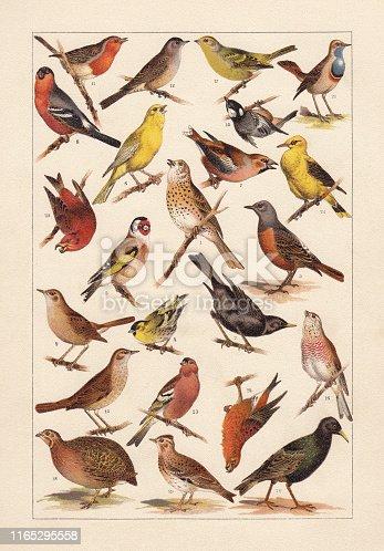 European songbirds: 1) Song thrush (Turdus philomelos); 2) Eurasian blackbird (Turdus merula); 3) Rock thrush (Turdus saxatilis); 4) Eurasian siskin (Spinus spinus); 5) European goldfinch (Carduelis carduelis); 6) Canary bird (Serinus canaria forma domestica); 7) Hawfinch (Coccothraustes coccothraustes); 8) Eurasian bullfinch (Pyrrhula pyrrhula); 9) Nightingale (Luscinia megarhynchos); 10) Thrush nightingale (Luscinia luscinia); 11) European robin (Erithacus rubecula); 12) Eurasian blackcap (Sylvia atricapilla); 13) Eurasian golden oriole (Oriolus oriolus); 14) Pine crossbill (Loxia pytyopsittacus); 15) Coal tit (Periparus ater); 16) Linnet (Linaria cannabina); 17) Citril finch (Carduelis citrinella); 18) Quail (Coturnix coturnix); 19) Eurasian skylark (Alauda arvensis); 20) European starling (Starnus vulgaris); 21) Bluethroat (Luscinia svecica); 22) Red crossbill (Loxia curvirostra); 23) Chaffinch (Fringilla coelebs). Chromolithograph, published in 1896.