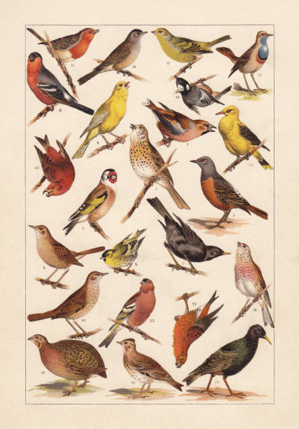 European songbirds, chromolithograph, published in 1896 European songbirds: 1) Song thrush (Turdus philomelos); 2) Eurasian blackbird (Turdus merula); 3) Rock thrush (Turdus saxatilis); 4) Eurasian siskin (Spinus spinus); 5) European goldfinch (Carduelis carduelis); 6) Canary bird (Serinus canaria forma domestica); 7) Hawfinch (Coccothraustes coccothraustes); 8) Eurasian bullfinch (Pyrrhula pyrrhula); 9) Nightingale (Luscinia megarhynchos); 10) Thrush nightingale (Luscinia luscinia); 11) European robin (Erithacus rubecula); 12) Eurasian blackcap (Sylvia atricapilla); 13) Eurasian golden oriole (Oriolus oriolus); 14) Pine crossbill (Loxia pytyopsittacus); 15) Coal tit (Periparus ater); 16) Linnet (Linaria cannabina); 17) Citril finch (Carduelis citrinella); 18) Quail (Coturnix coturnix); 19) Eurasian skylark (Alauda arvensis); 20) European starling (Starnus vulgaris); 21) Bluethroat (Luscinia svecica); 22) Red crossbill (Loxia curvirostra); 23) Chaffinch (Fringilla coelebs). Chromolithograph, published in 1896. gold finch stock illustrations