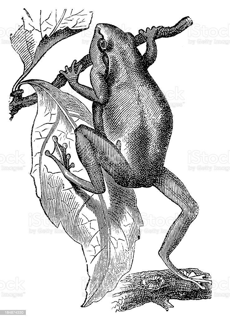 European Tree Frog Stock Illustration - Download Image Now ...
