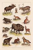 European wild mammals: 1) Elk (Alces alces); 2) Hare (Lepus europaeus); 3) Red deer (Cervus elaphus); 4) Lynx (Lynx lynx); 5) Red fox (Vulpes vulpes); 6) Wild boar (Sus scrofa); 7) Wildcat (Felis silvestris silvestris); 8) Wisent (Bison bonasus); 9) Roe deer (Capreolus capreolus); 10) Gray wolf (Canis lupus lupus); 11) Beaver (Castor fiber); 12) Brown bear (Ursus arctos arctos); 13) Badger (Meles meles). Lithograph, published in 1893.