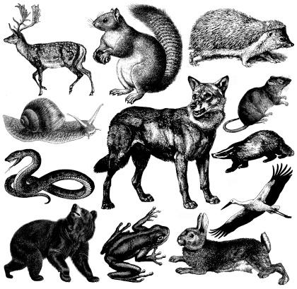European Wildlife Fauna Illustrations | Vintage Animal Clipart