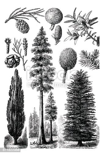 Various Evergreen trees engraving from 1898 isolated on white
