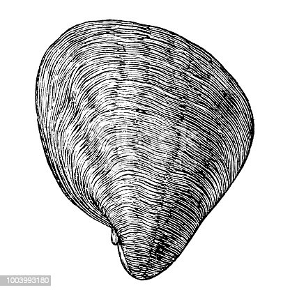 Illustration of a Exogyra is an extinct genus of fossil marine oysters in the family Gryphaeidae