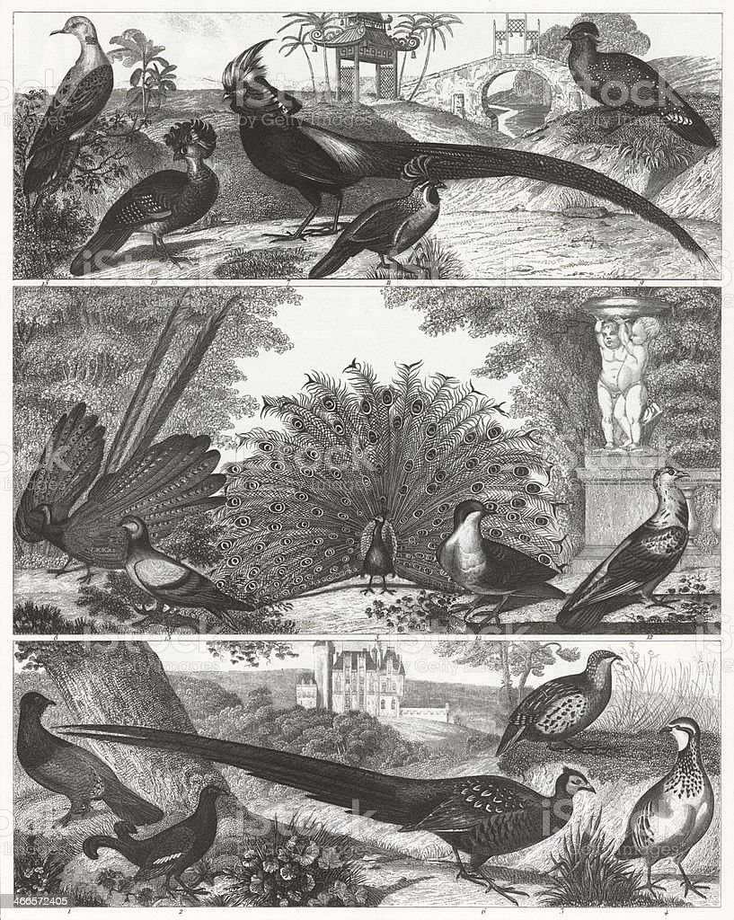 Exotic game birds are shown in a black-and-white engraving. vector art illustration