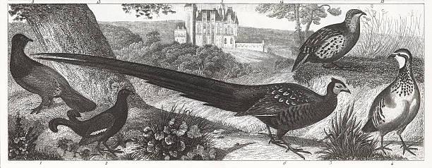 ilustrações, clipart, desenhos animados e ícones de exótico gamebirds engraving - observação de pássaros