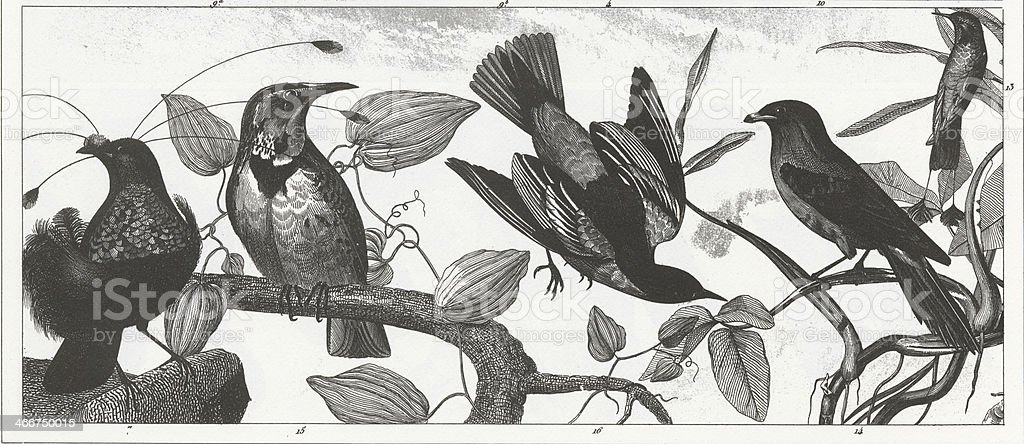 Exotic & Songbirds Engraving vector art illustration