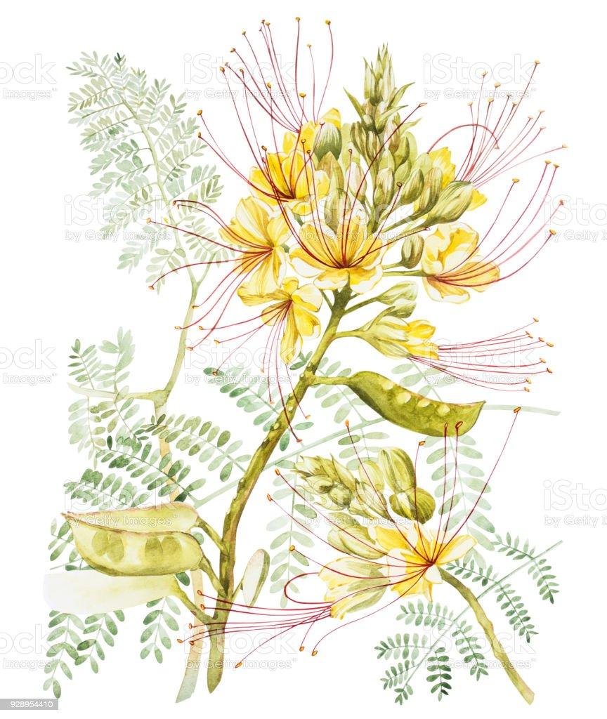 Exotic Yellow Flowers Caesalpinia Watercolor Hand Drawn Botanical