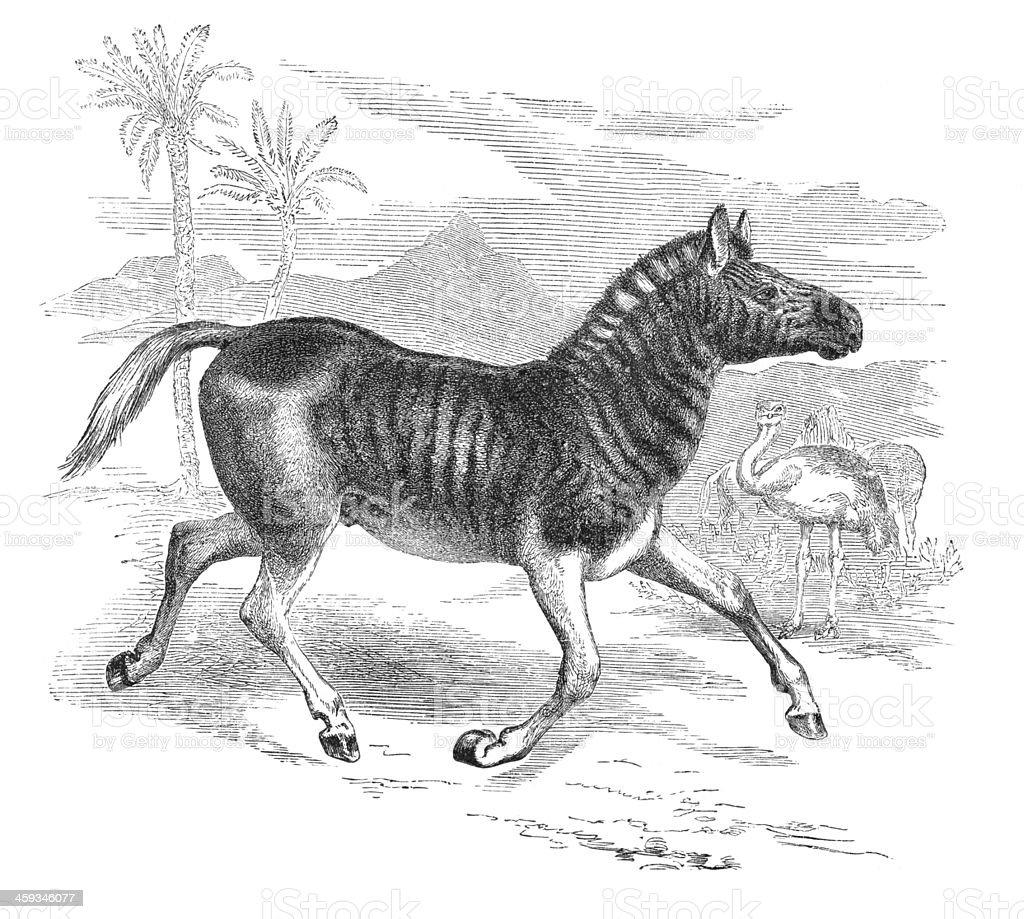 Extinct zebra Quagga engraving from 1877 vector art illustration