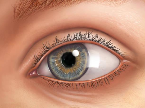 Eye anatomy vector art illustration