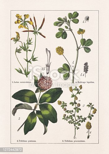 Faboideae: 1) Bird's-foot trefoil (Lotus corniculatus); 2) Red clover (Trifolium pratense), b-blossom leaf; 3) Lesser trefoil (Trifolium dubium, or Trifolium procumbens), a-stem with blossoms and leaves, b-blossom (infiorescenze); 4) Black medick (Medicago lupulina), a-stem with blossoms and leaves, b-ripe seed pods, c-seed (enlarged). Chromolithograph, published in 1895.