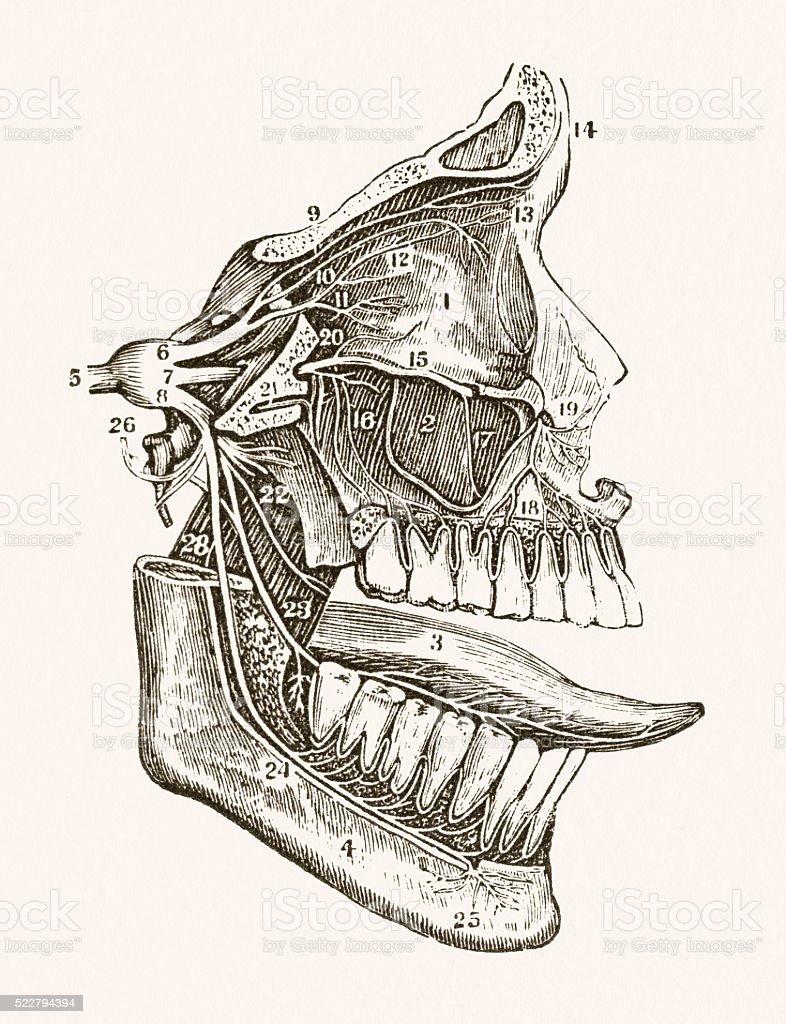 Ilustración de Nervio Facial Médicos Medio Siglo 19 y más banco de ...