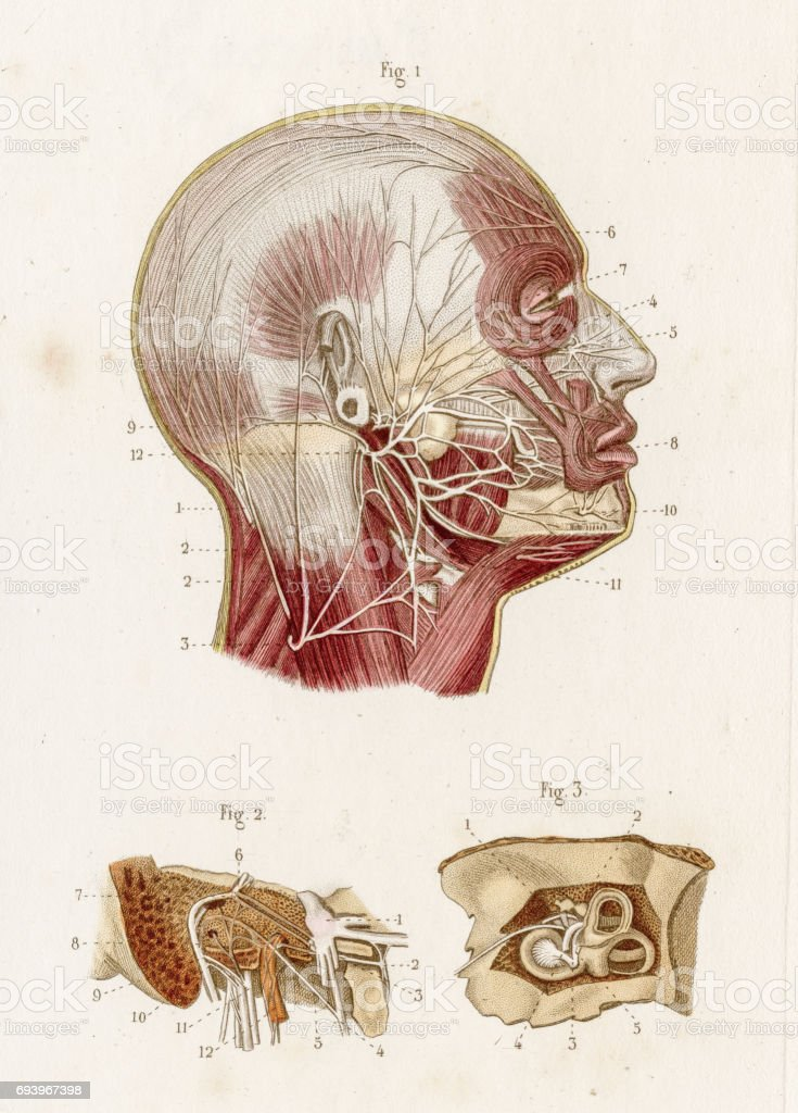 Facial Nerves Anatomy Engraving 1886 Stock Vector Art More Images
