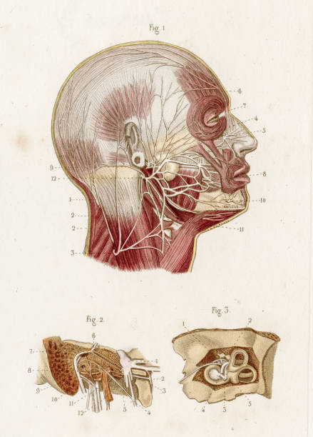Royalty Free Facial Nerve Clip Art, Vector Images & Illustrations ...