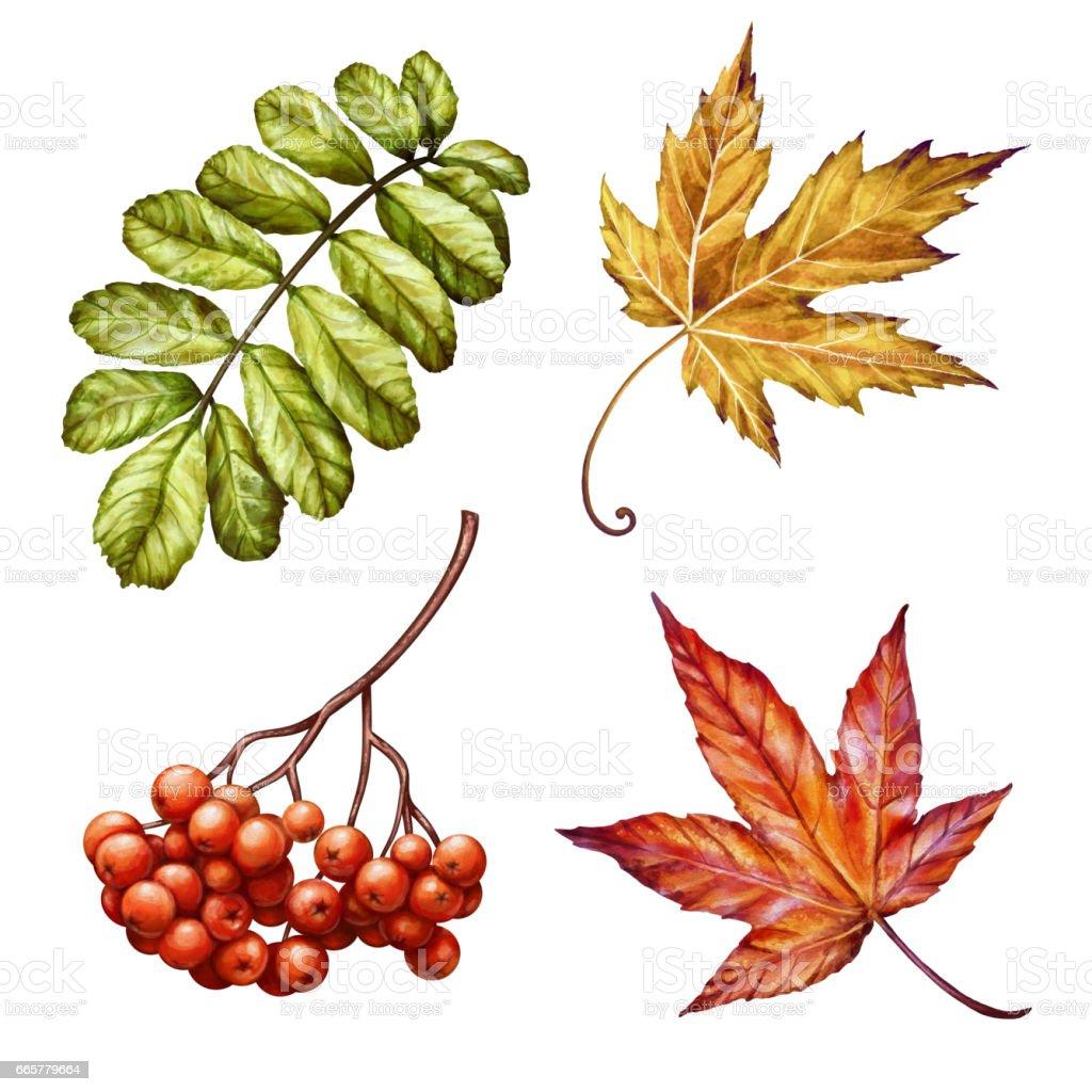 Herbst Natur Herbstlaub Und Aschebeerenclipart Aquarell Illustration