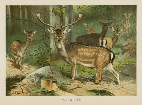 Fallow Deer chromolithograph 1896