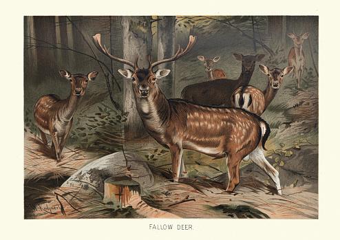 Fallow deer (Dama dama) in a forest