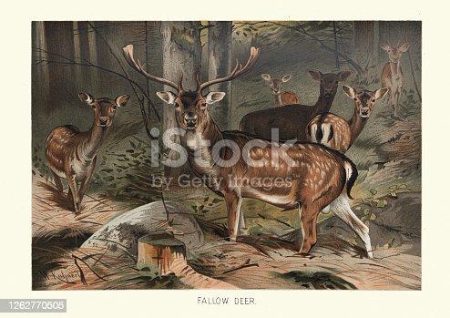 istock Fallow deer (Dama dama) in a forest 1262770505