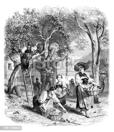 Engraving of people harvesting fruits apples in Switzerland Original edition from my own archives Source : Magasin Pittoresque 1851 Drawing : Karl Girardet