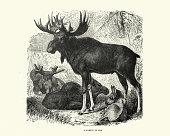 istock Family of Elk, Moose 1266648101
