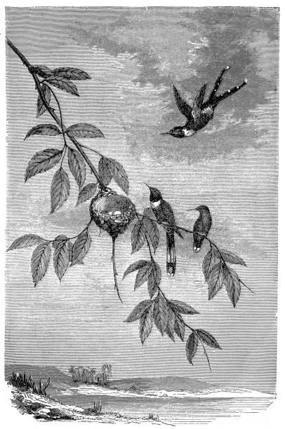Family of hummingbirds vector art illustration