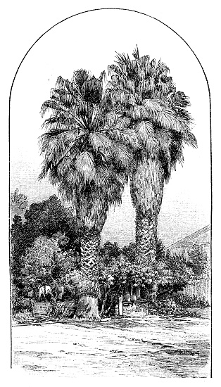 Fan palms in Los Angeles