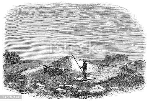 Farmer using a threshing board on a threshing floor in rural Israel. Vintage etching circa mid 19th century.