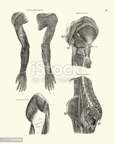 istock Fascia of upper extremity, Buttock and pelivs muscles, Victorian anatomy 1217434954