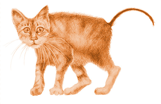 Fashionable illustration of a drawing penciled figure of a frightened kitten on a white background
