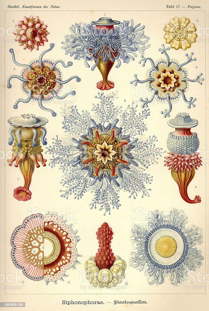 Fauna KdN t017 Porpema - Siponophorae vector art illustration