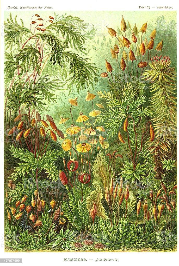 Fauna KdN t072 Polytrichum - Muscinae vector art illustration