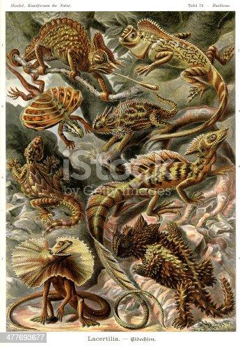 Basiliscus - Lacertilia