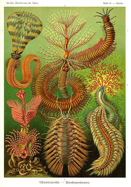 Fauna KdN t096 Sabella - Chaetopoda Sabella - Chaetopoda bristle worm stock illustrations