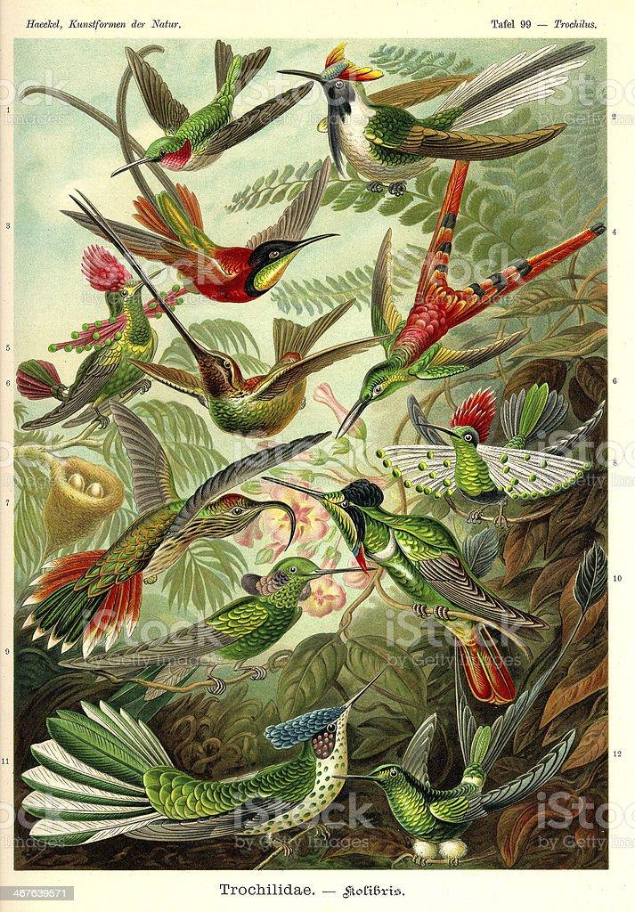 Fauna KdN t099 Trochilus - Trochilidae vector art illustration