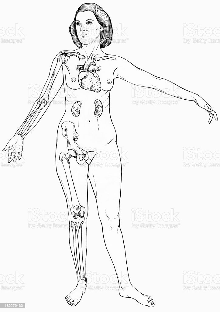 Female Figure with Select Internal Anatomy vector art illustration
