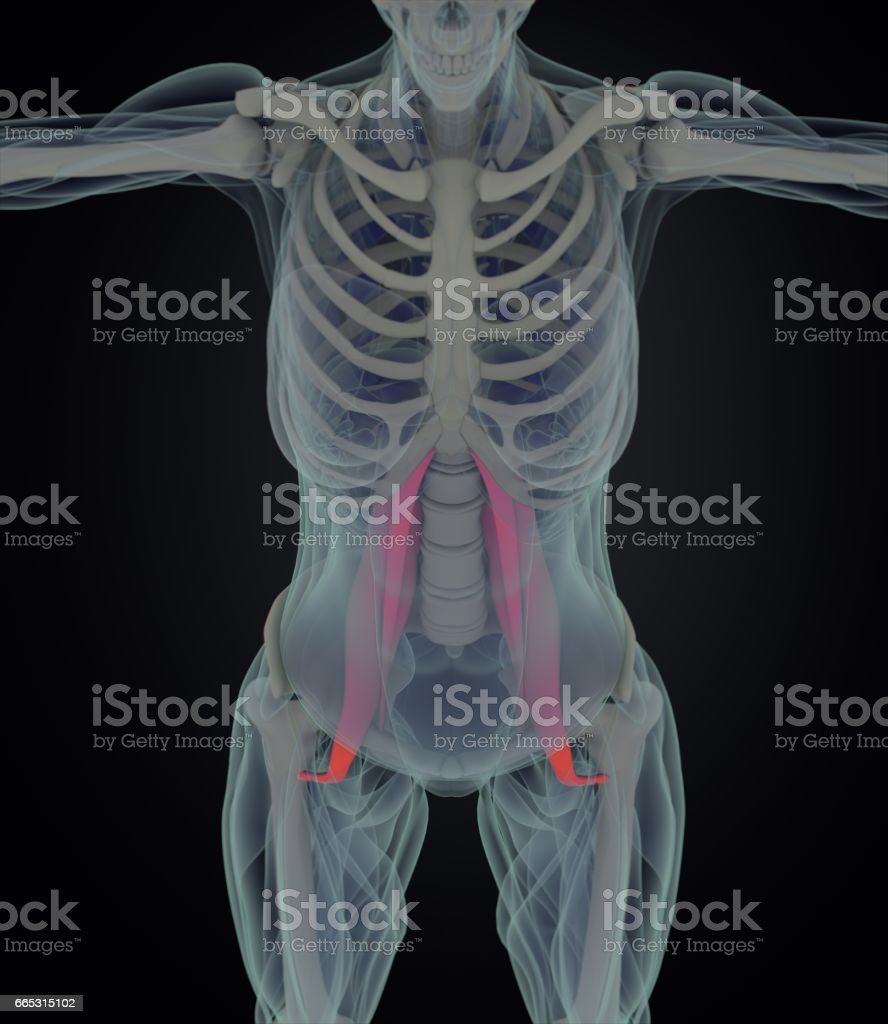 Female Psoas Muscle Soul Muscle Human Anatomy 3d Illustration Stock