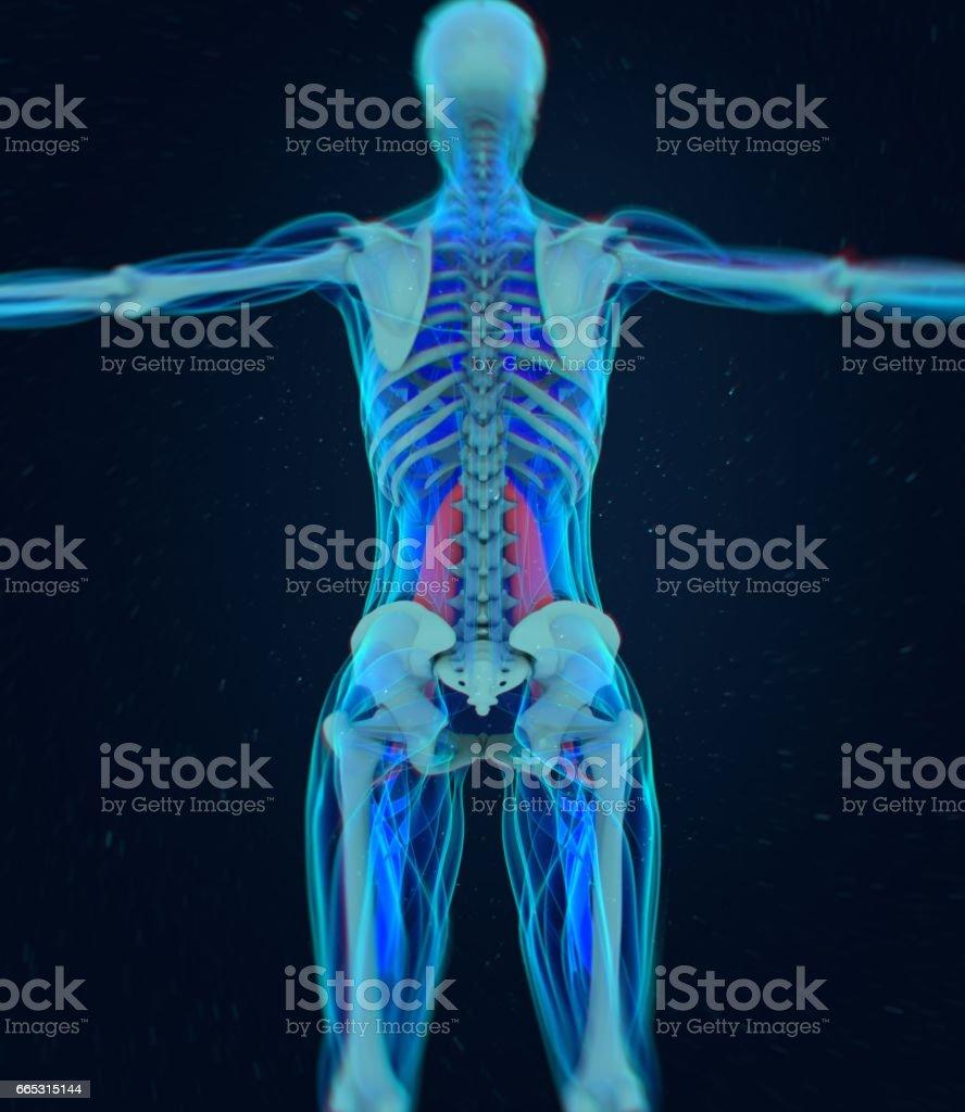 Weibliche Psoas Muskel Seele Muskel Anatomie Des Menschen 3d ...