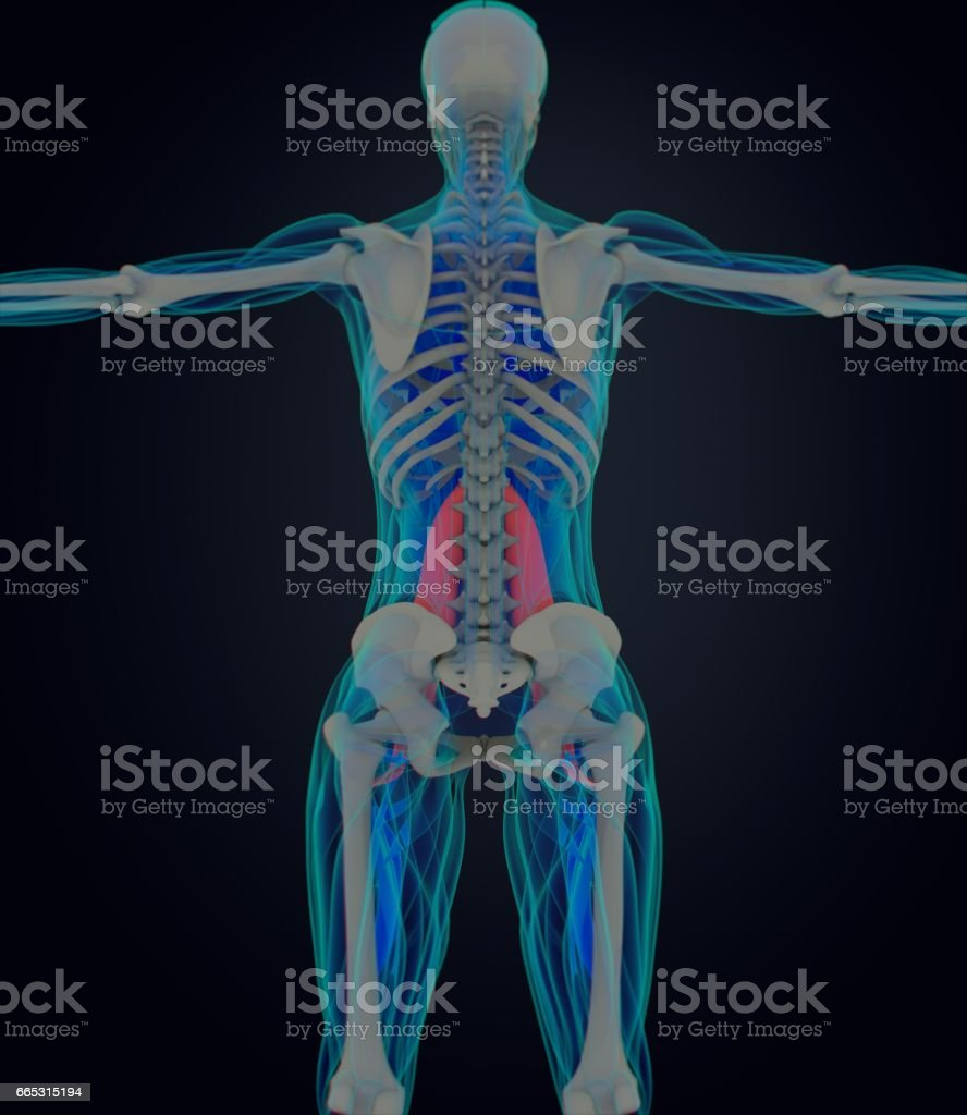 Female Psoas Muscle Soul Muscle Human Anatomy 3d Illustration Stock