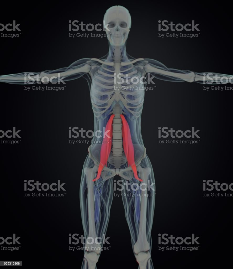 Ilustración de Músculo Psoas Femenino Músculo Del Alma Anatomía ...