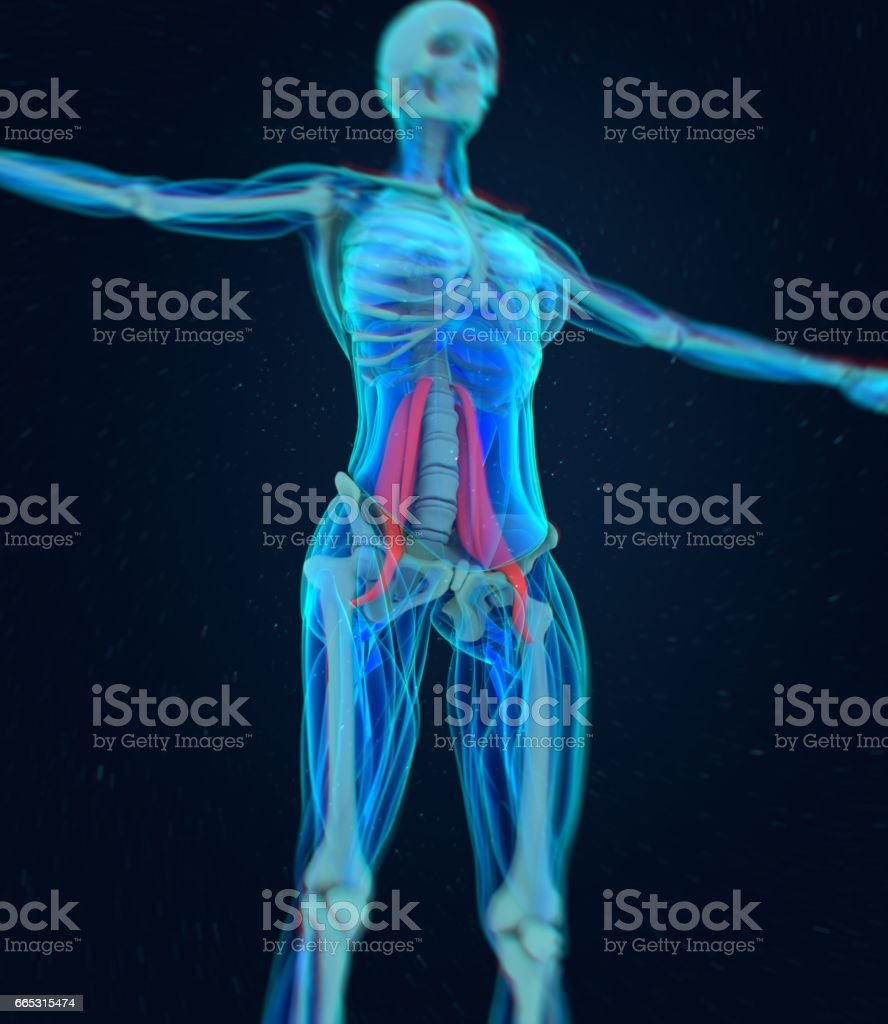 Female psoas muscle. Soul muscle. Human anatomy. 3d illustration. vector art illustration