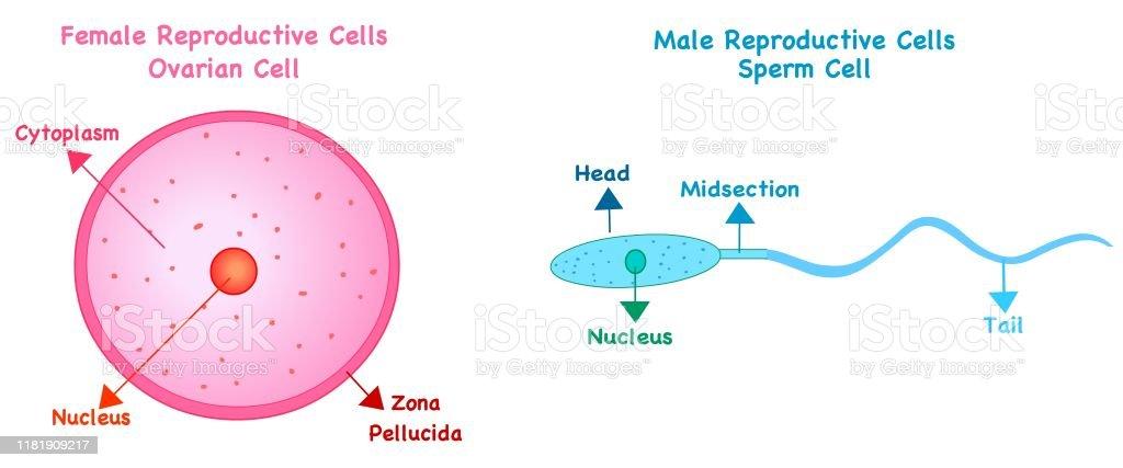 female sex cell diagram in Gateshead