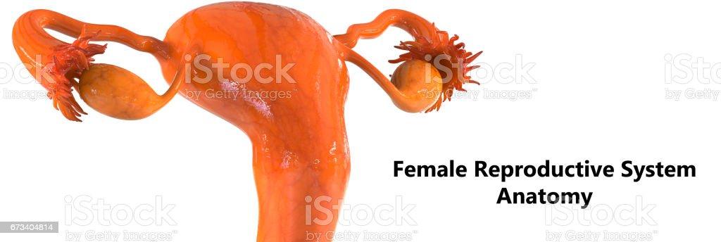 Female Reproductive System Anatomy vector art illustration
