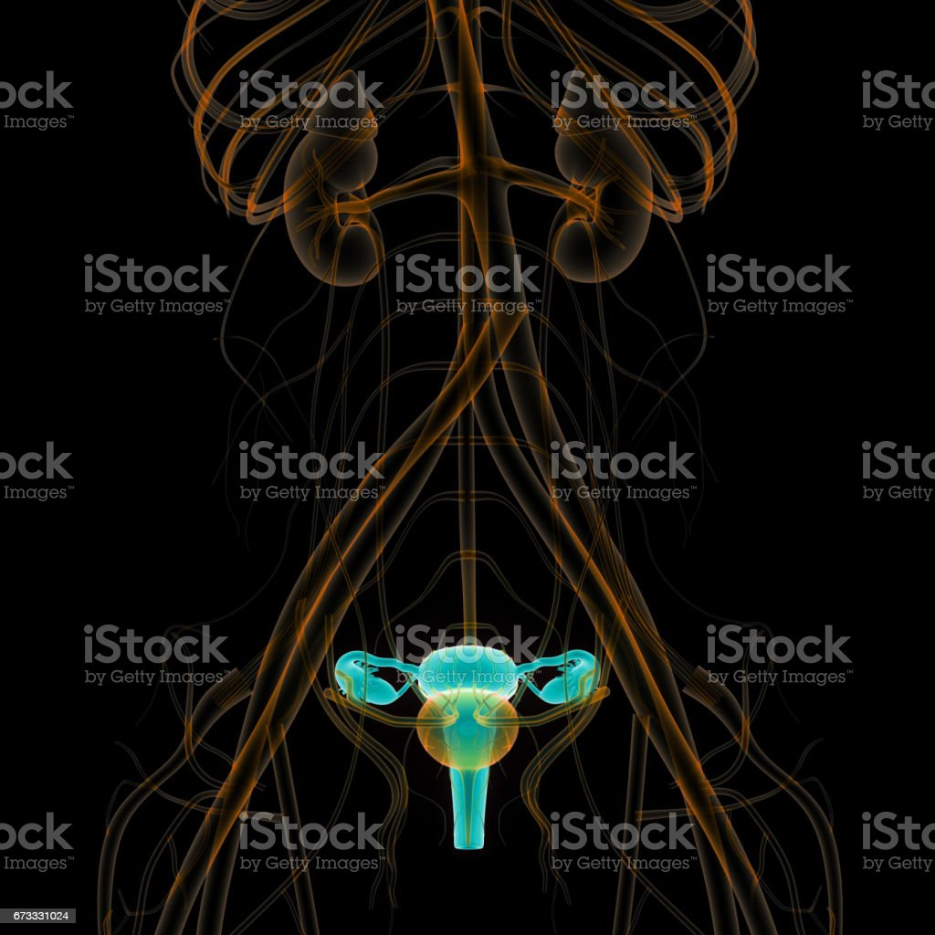 Female Reproductive System with nervous system and urinary bladder vector art illustration