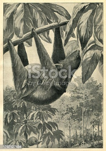 Sloths are a group of arboreal neotropical xenathran mammals, constituting the suborder Folivora. Original edition from my own archives Source : Gartenlaube 1901