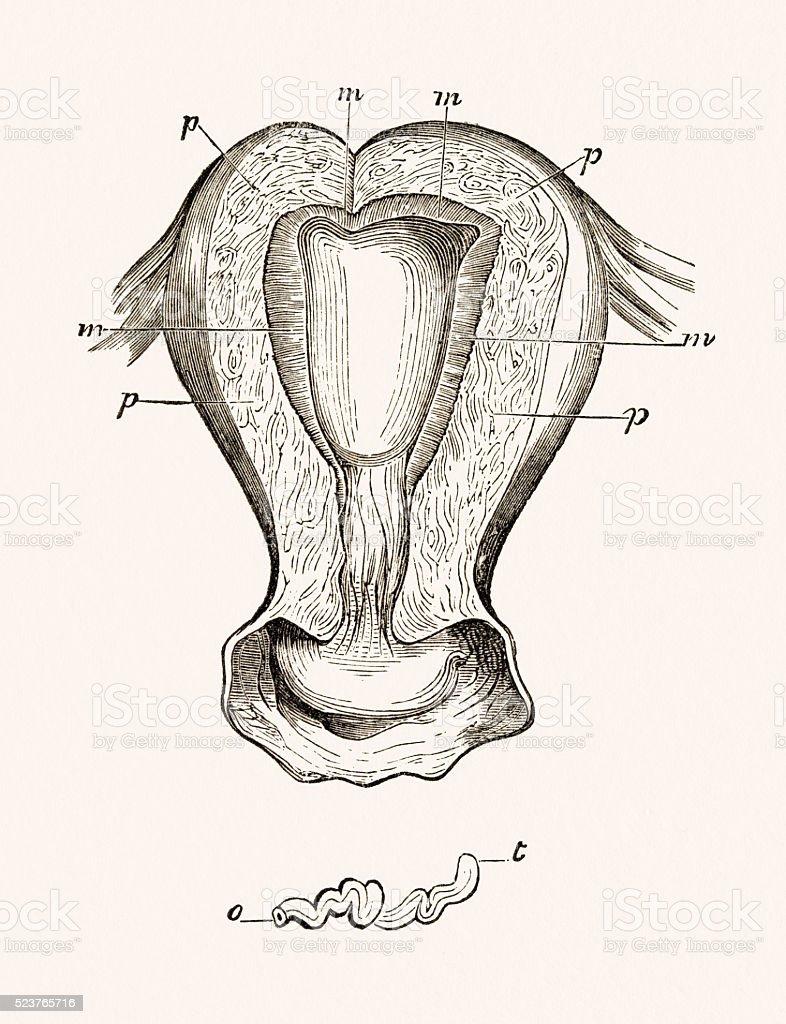 Weibliche Menschliche Gebärmutter 19 Jahrhundert Medizinische ...