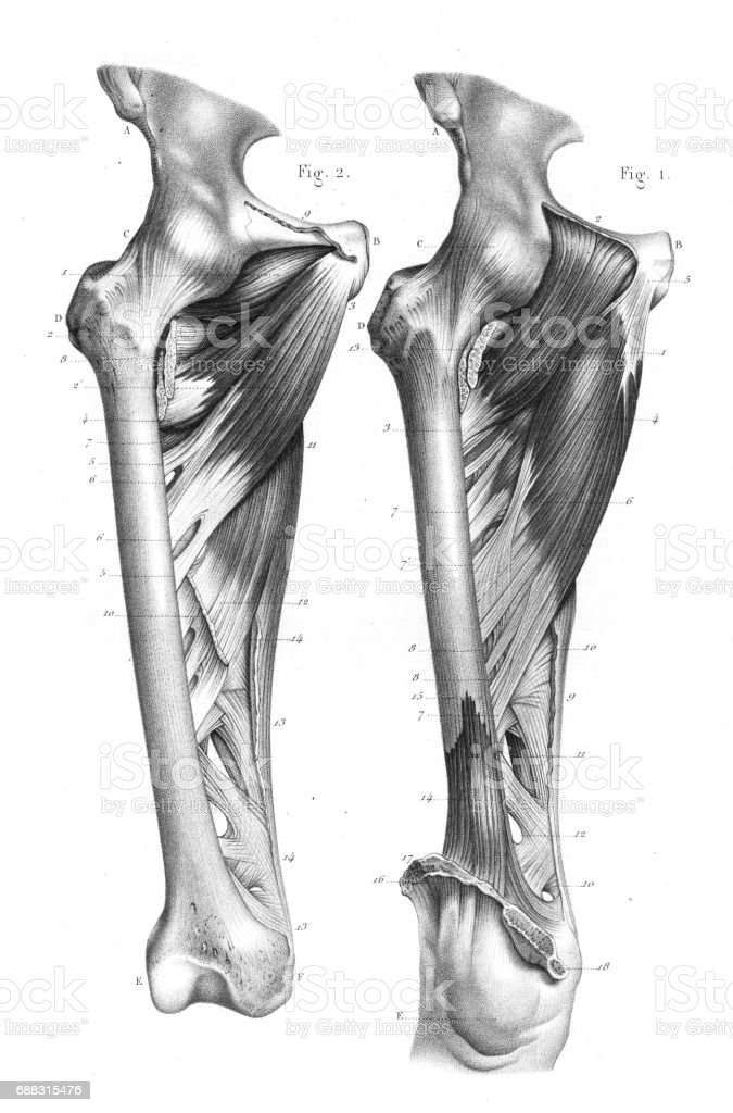 Femoral Region Anatomy Engraving 1866 Stock Vector Art & More Images ...